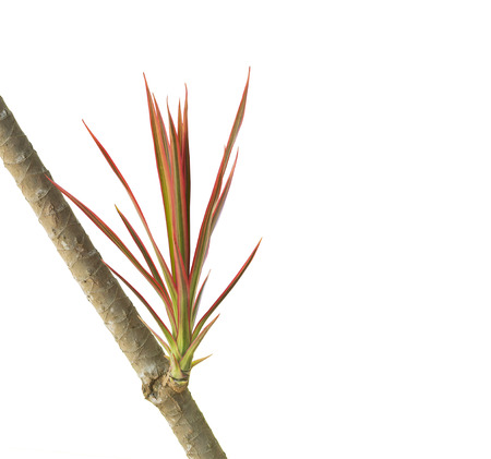 Tricolor leaves plant  on white background