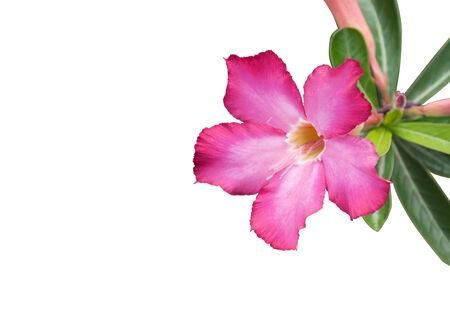 Pink adenium flowers  on white background Stock fotó