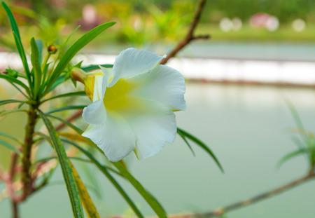 Yellow Oleander Stock fotó