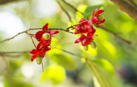 Ochna integerrima (Lour.) Merr.,Micky mouse plant