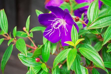 Purple wild flowers of Melastoma malabathricum