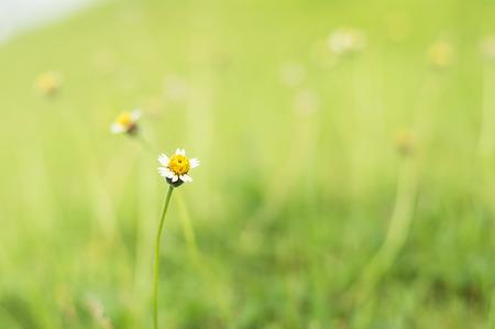 Tridax or Wild daisy flowers in garden
