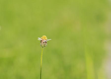 Tridax or Wild daisy flower in garden