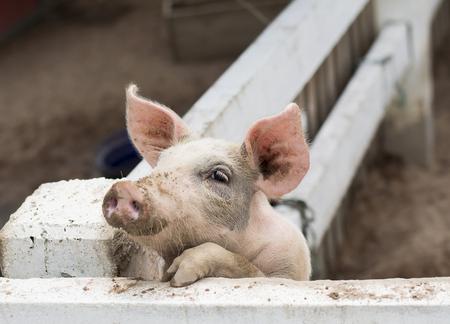 Little Pig Stock fotó