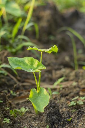 elephant ear plant enjoy in the sun light with water drop