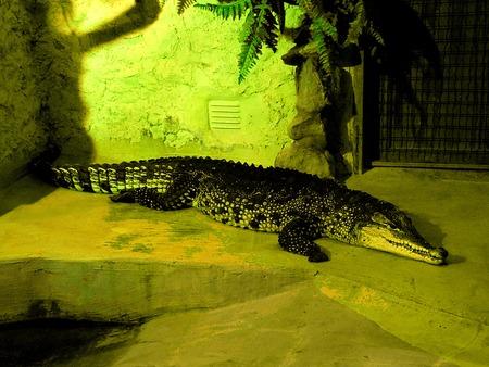 CROCODILE IN ZOO photo
