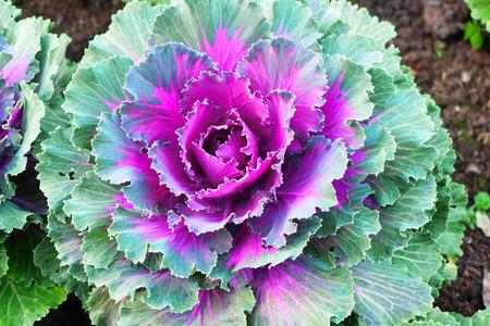 anti season: Colorful Ornamental Cabbages in Garden