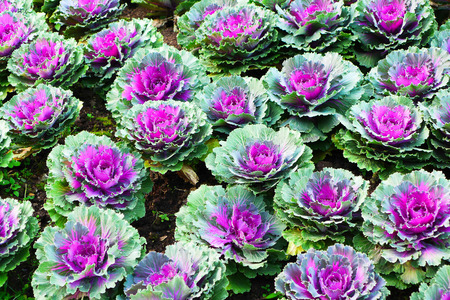 flowering kale: Decorative Colorful Ornamental Cabbages in Garden Stock Photo