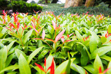 contrasted: Red color of new growth contrasted to the green older leaves Stock Photo