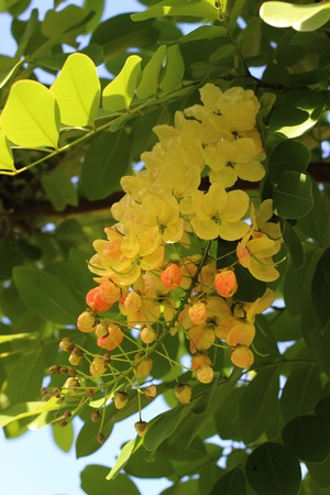 drumstick tree: Yellow flowers in thailand