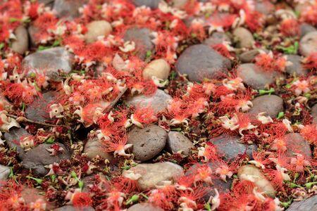 barringtonia: Full frame background of pink exotic flowers - Barringtonia .