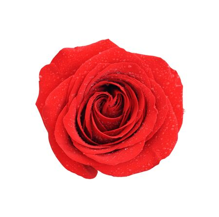 Red rose on the white background photo