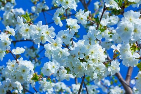 almond tree:  Flowering branch of apple