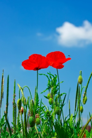 Red poppies against the sky photo