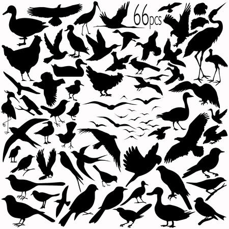 66 piezas de información detallada siluetas de aves vectorial.