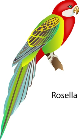 vector tailed parrot on a white background