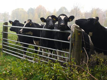 gated: Cows at a gated fence, Maarssen, The Netherlands
