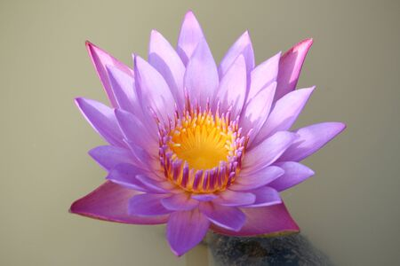 Purple-pink lotus flowers are blooming in the pool. The back has a beautiful green lotus leaf | Thailand
