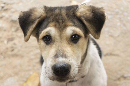 Puppies are brown, white, black hair, black nose, brown eyes. Stockfoto