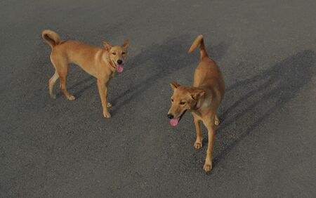 A two stray dogs are looking for food on the city streets. A stray dog is looking for food on the city streets. The Thai dogs has brown hair, black nose.