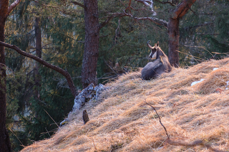 Relaxing chamois buck in the tyrolian alps.