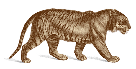 panthera: Highly accurate vector illustration of a vintage engraving of a walking tiger masterfully drawn