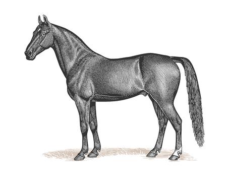 Full Vector illustration Illustration of a beautiful Vintage Bay Stallion Horse Engraving Illustration