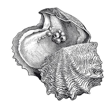 Full Vector illustration Illustration of a High Detail Oyster Pearl Engraving