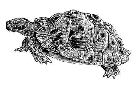 Full Vector illustration Illustration of a beautiful Vintage Common Tortoise Engraving