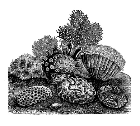 Full Vector illustration of a Vintage Highly detailed Stony Corals Engraving Illustration