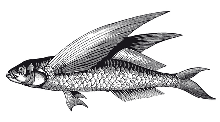 Full Vector illustration Illustration of a High Detail Flying Fish Engraving