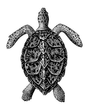 Ilustración completa de un hermoso grabado Vintage de tortuga carey