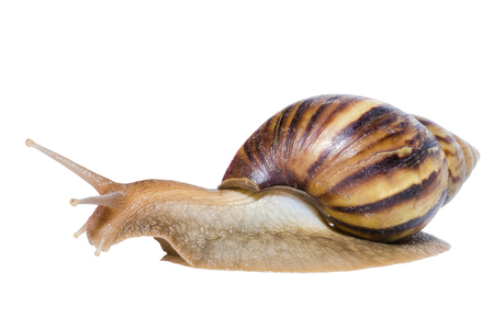 Close up of Snail isolated on white background. Foto de archivo