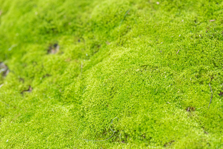 green moss in nature background