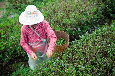 gardeners are collecting tea leaves. Imagens