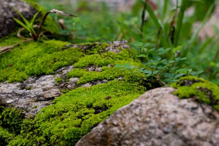 close up of green moss in nature background.