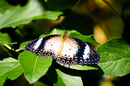 Butterfly on leaves in the garden in North of Thailand photo