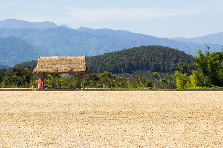 green bean: Place for drying coffee bean and pavilion in north of thailand