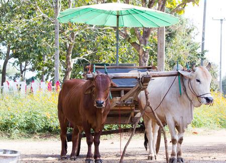 umbella: Ox cart transportation in Thailand