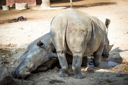 big ass: Behind of a rhinoceros
