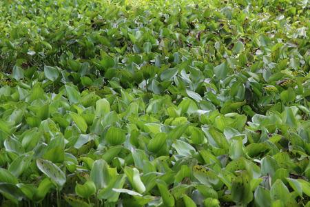 water hyacinth: Water Hyacinth (Eichhornia crassipes) in lake
