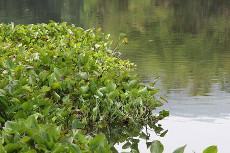 water hyacinth: Water Hyacinth (Eichhornia crassipes) in lake with forest view Stock Photo