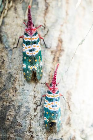 animales del bosque: Lanternfly, el insecto en el �rbol