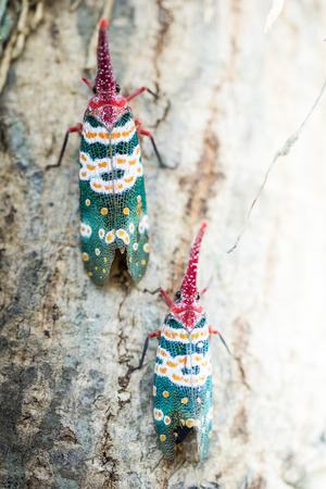 forest animals: Lanternfly, the insect on tree Stock Photo