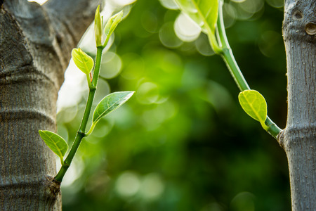 spring green: Young sprout of jackfruit growing from tree on green bokeh background Stock Photo