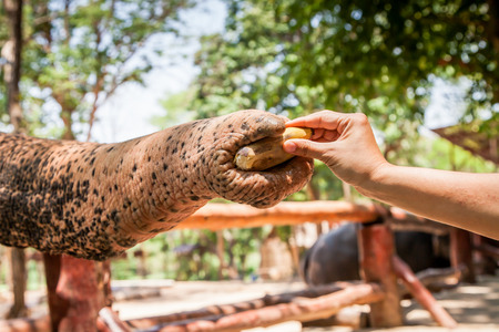 zoo youth: feeding elephant with banan in the zoo