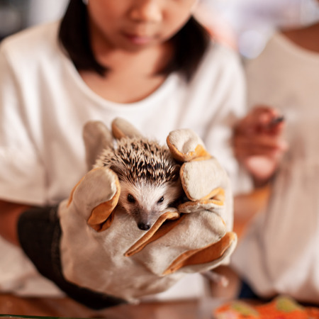 Child wearing glove holding and playing with small Hedgehog porcupine with curious and fun