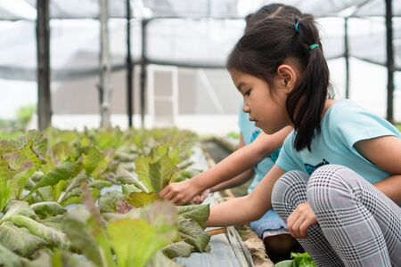 Two cute asian child girls harvesting fresh vegetables in organic hydroponic vegetable cultivation farm with fun