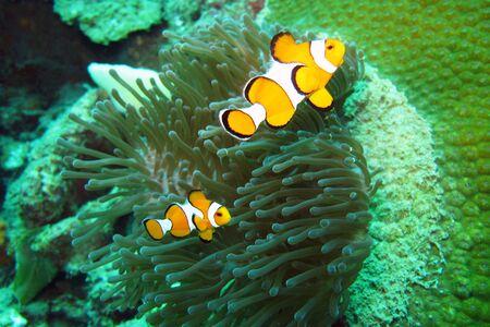 Anemone and anemone fish                           photo