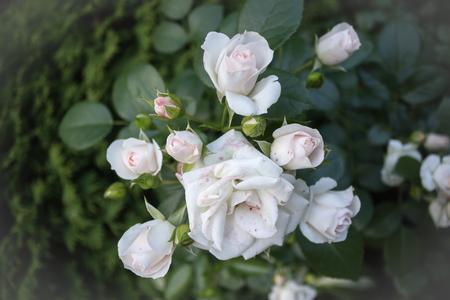 rose-bush: Branch rosebush 003 Zdjęcie Seryjne